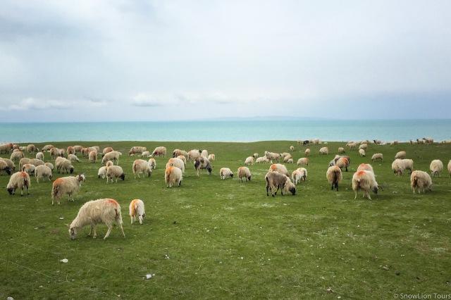стадо овец на берегу озера Кукунор