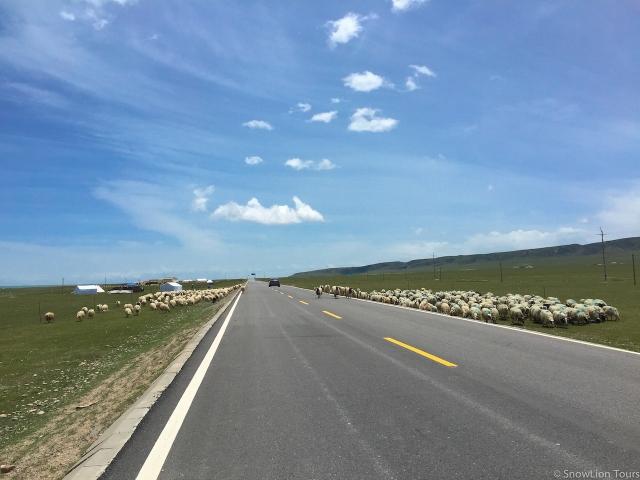 стада овец у дороги