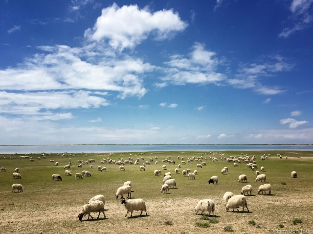 cтало овец на берегу Кукунора